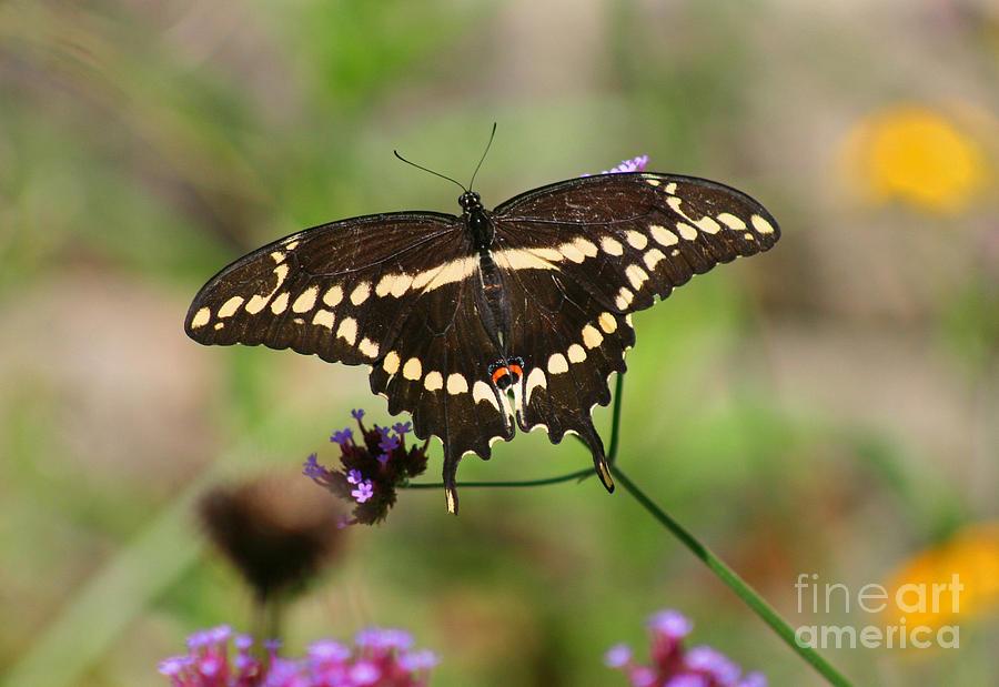 Butterfly Photograph - Giant Swallowtail Butterfly by Karen Adams