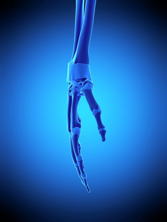 Artwork Photograph - Hand Ligaments by Sebastian Kaulitzki/science Photo Library