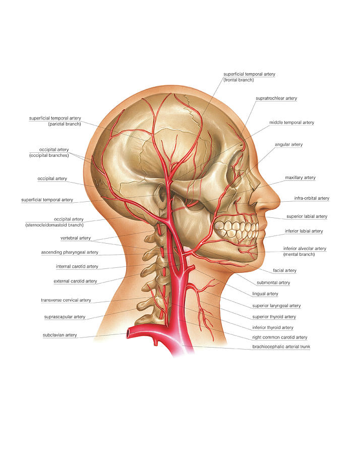 Head And Neck Arterial System Photograph By Asklepios Medical Atlas