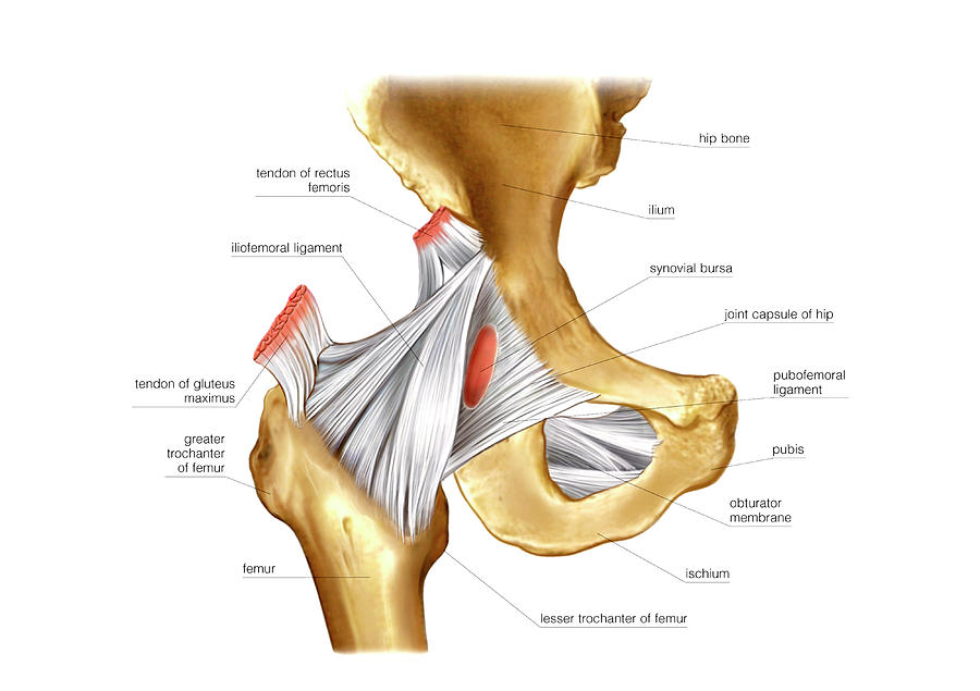 Hip Joint By Asklepios Medical Atlas