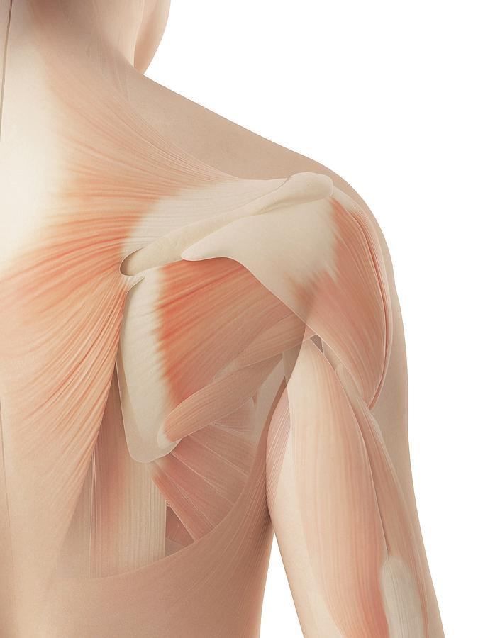 Artwork Photograph - Human Shoulder Muscles by Sebastian Kaulitzki