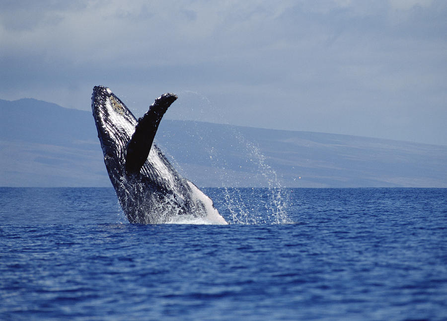 Humpback Whale Breaching Maui Hawaii Photograph by Flip Nicklin