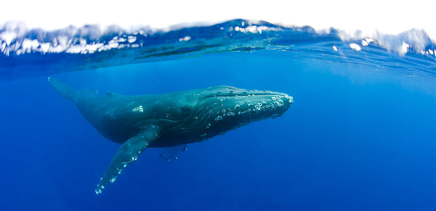 Humpback whale Photograph by M Swiet Productions
