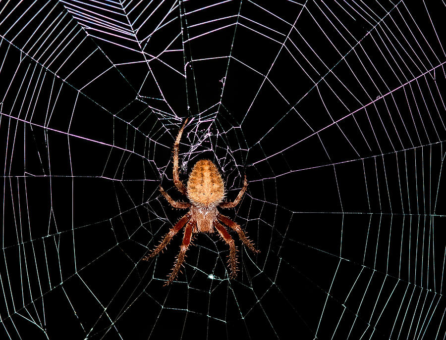 Spider Photograph - 7 Legged Spotted Orb Weaver by Lara Ellis