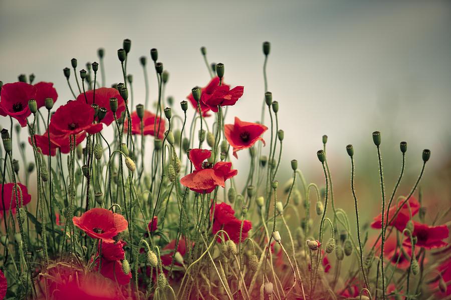 Poppy Photograph - Poppy Meadow by Nailia Schwarz