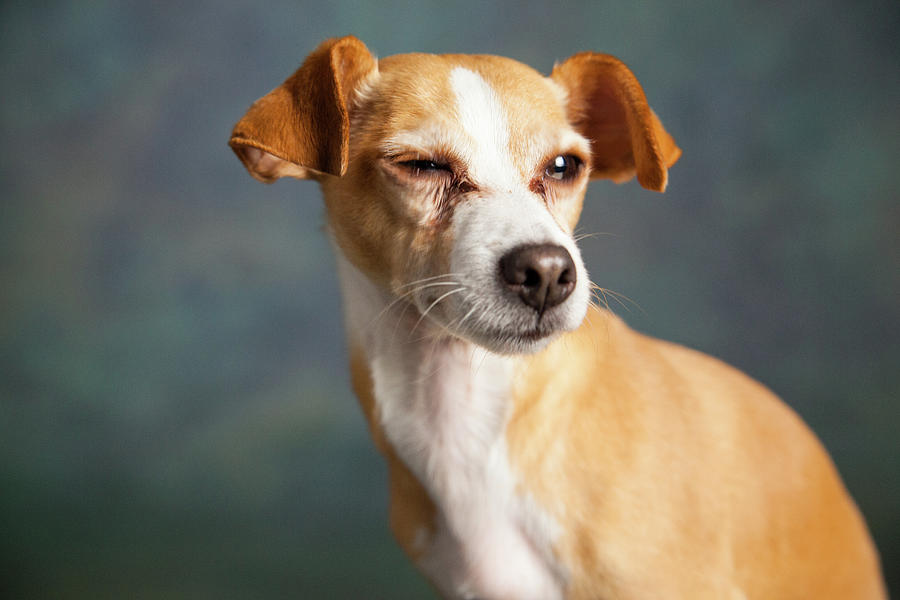 Horizontal Photograph - Portrait Of A Chihauhua Mix Dog by Animal Images