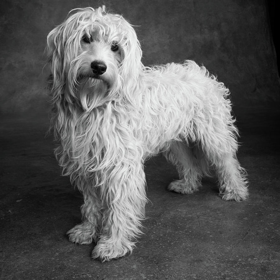 Portrait Of A Mini Golden Doodle Dog by Animal Images