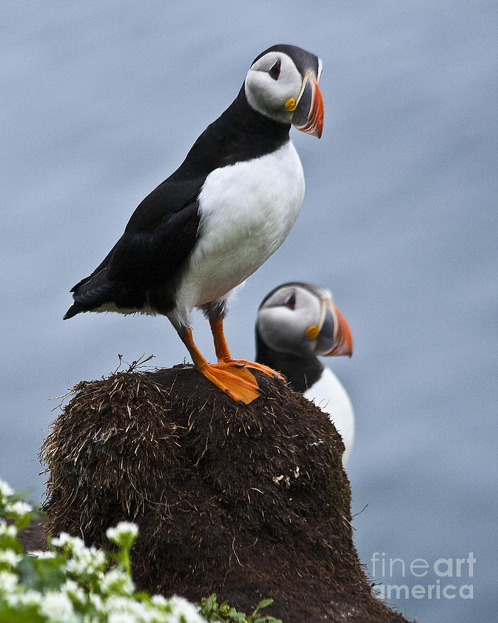 Puffin Photograph - Puffins by Heiko Koehrer-Wagner