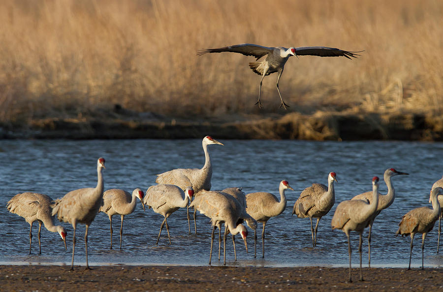 Sandhill Cranes Grus Canadensis Photograph By William Sutton
