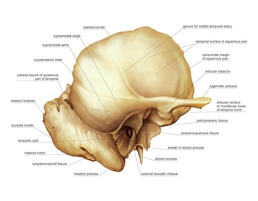 Temporal Bone Photograph by Asklepios Medical Atlas