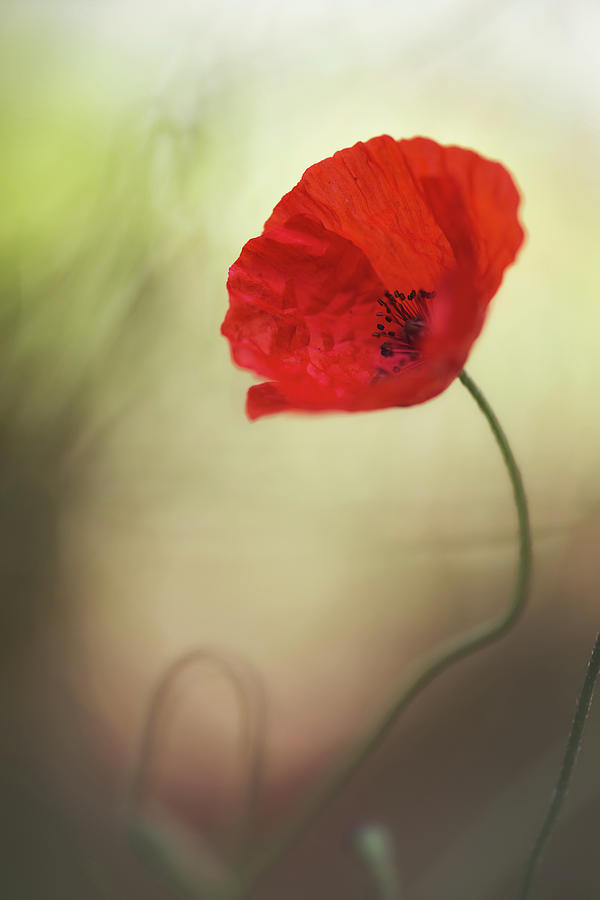 Poppy Photograph - Untitled by Keren Or