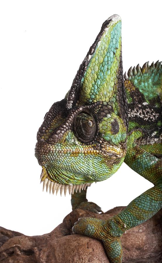 Indoors Photograph - Veiled Chameleon by Science Photo Library