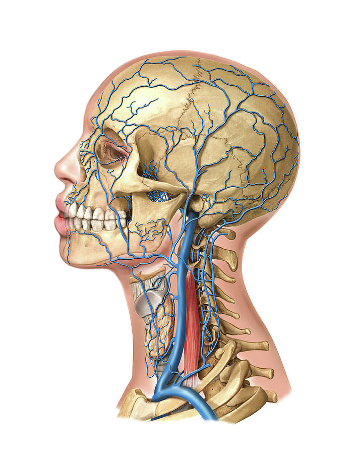 Venous System Of The Head And Neck Photograph by Asklepios Medical Atlas