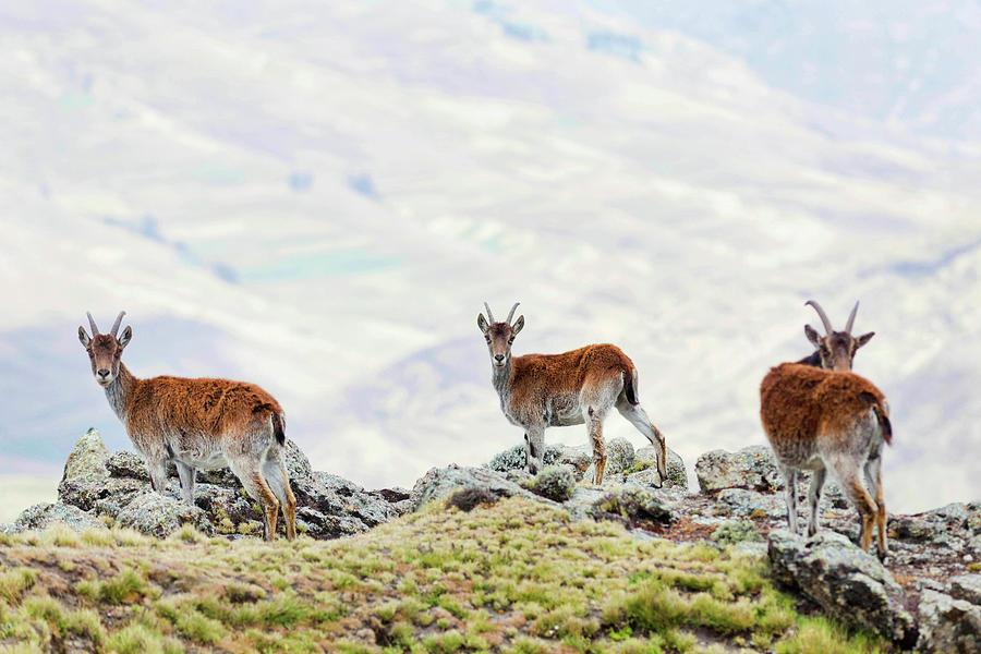 Abyssinia Photograph - Walia Ibex (capra Walie by Martin Zwick