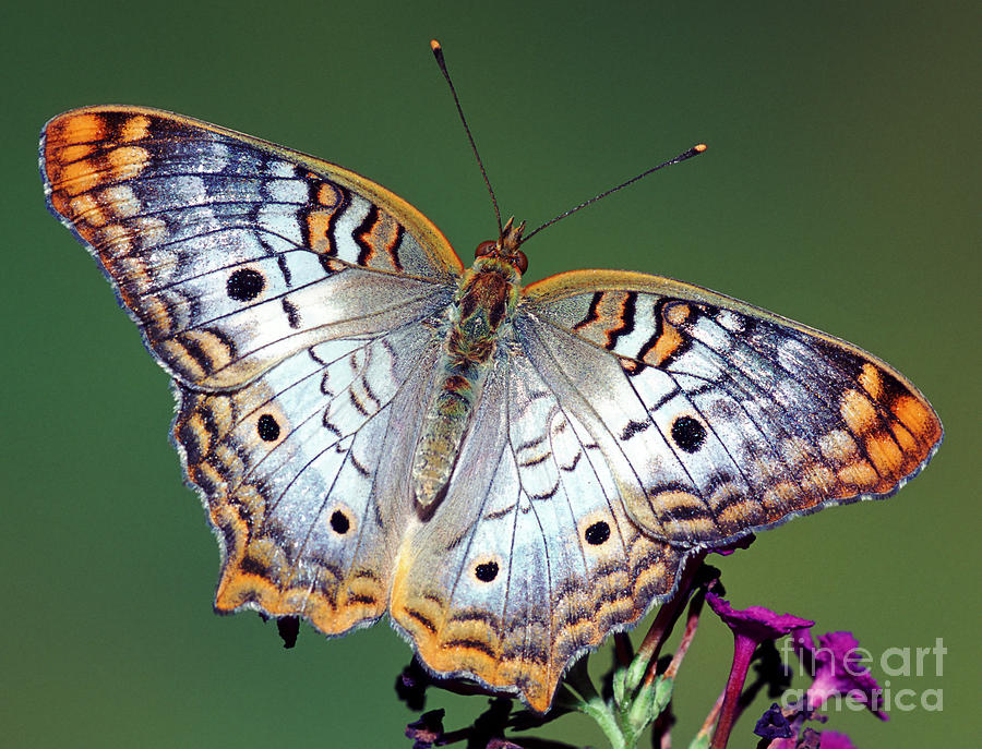 White Peacock Butterfly Photograph By Millard H Sharp