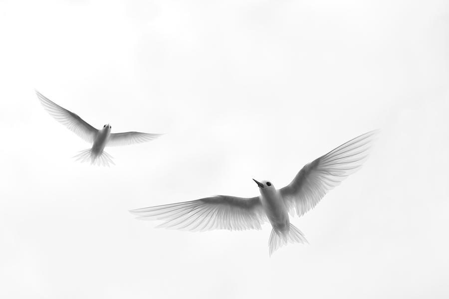 America Photograph - White Tern (gygis Alba Rothschildi by Daisy Gilardini