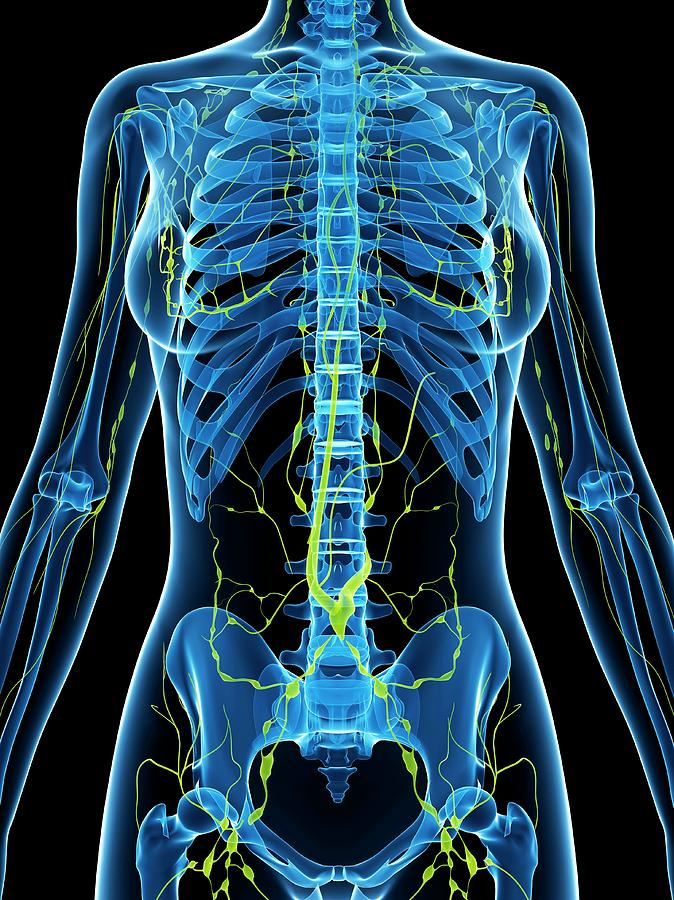 Artwork Photograph - Female Anatomy by Sciepro/science Photo Library