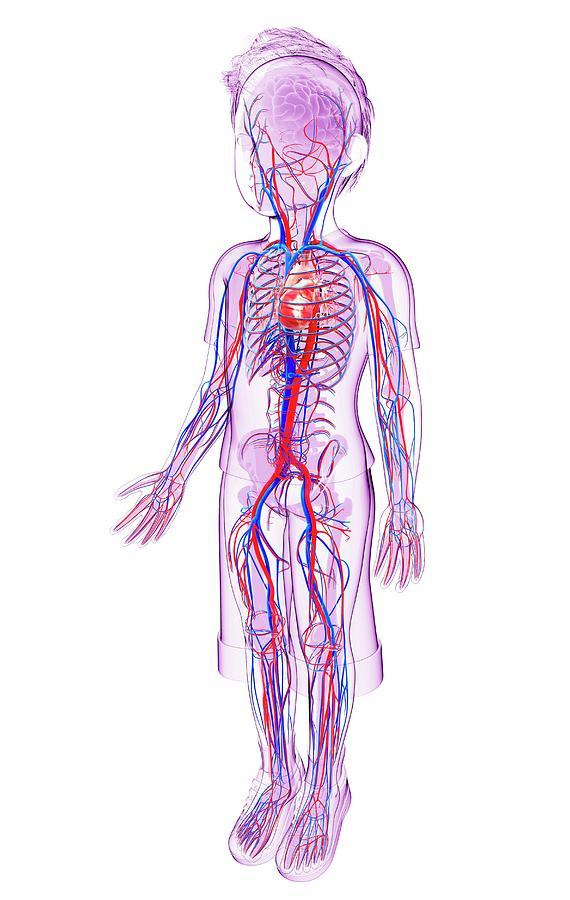Human Cardiovascular System Photograph By Pixologicstudio
