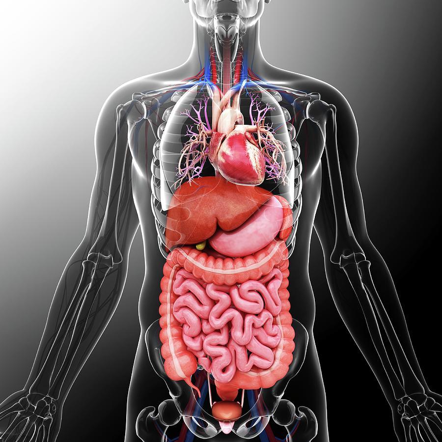 Artwork Photograph - Human Internal Organs by Pixologicstudio
