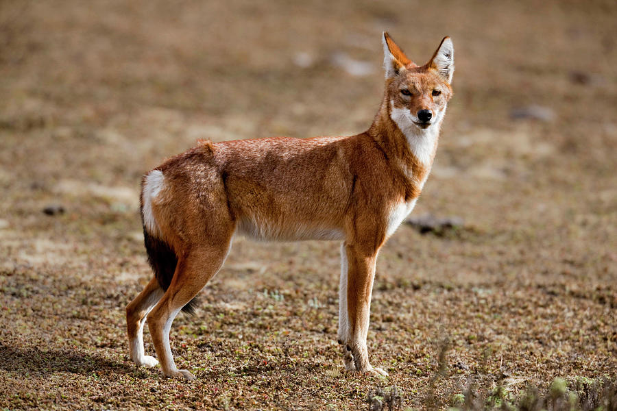 Ethiopian Wolf Canis Simensis Photograph By Martin Zwick