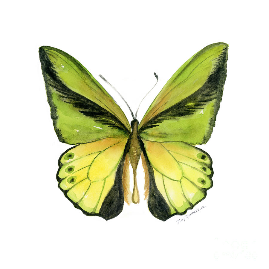 8 Goliath Birdwing Butterfly Painting by Amy Kirkpatrick