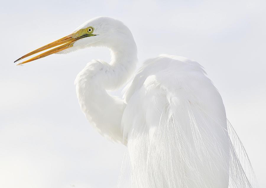 Egret Photograph - Great White Egret by Paulette Thomas