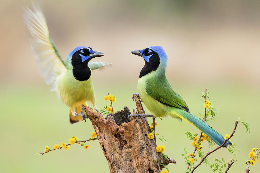 Green Jay Cyanocorax Yncas Photograph By Larry Ditto