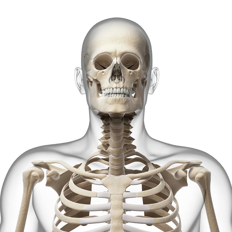 Human Skull And Neck Bones Photograph by Sebastian Kaulitzki