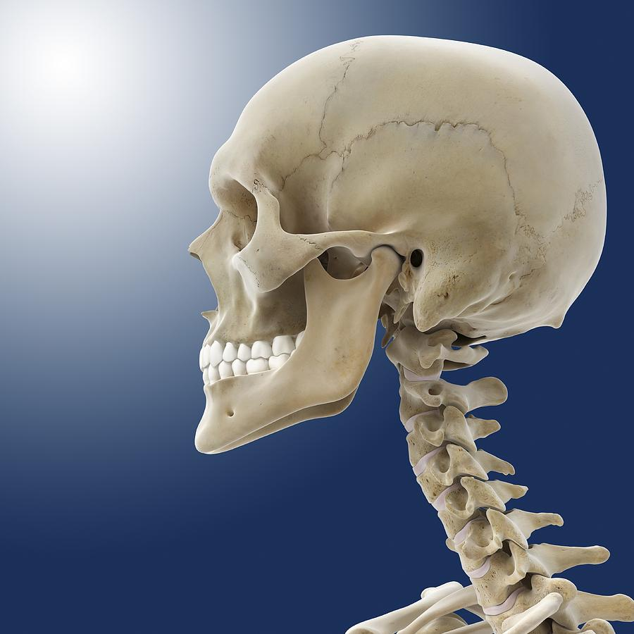 Bone Photograph - Human Skull, Artwork by Science Photo Library