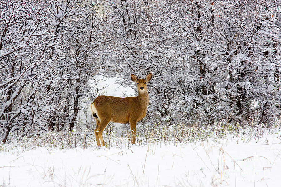 Mule Deer In Snow Photograph