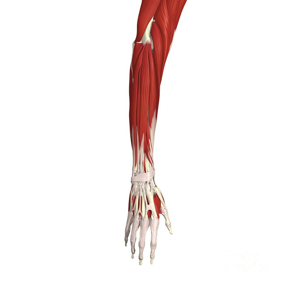 Muscles Of The Forearm And Hand Photograph by Medical Images ...
