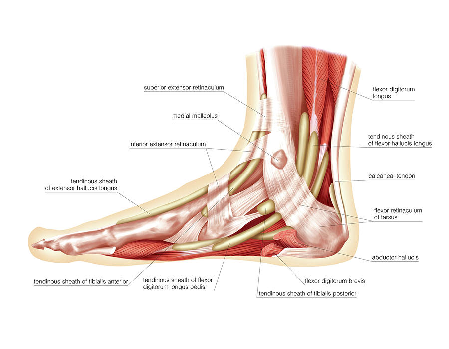 Muscles Of The Leg And Foot Photograph by Asklepios Medical Atlas