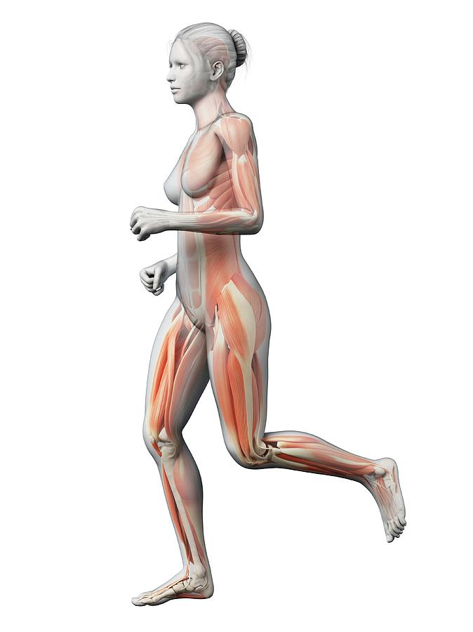 Artwork Photograph - Muscular System Of Runner by Sebastian Kaulitzki