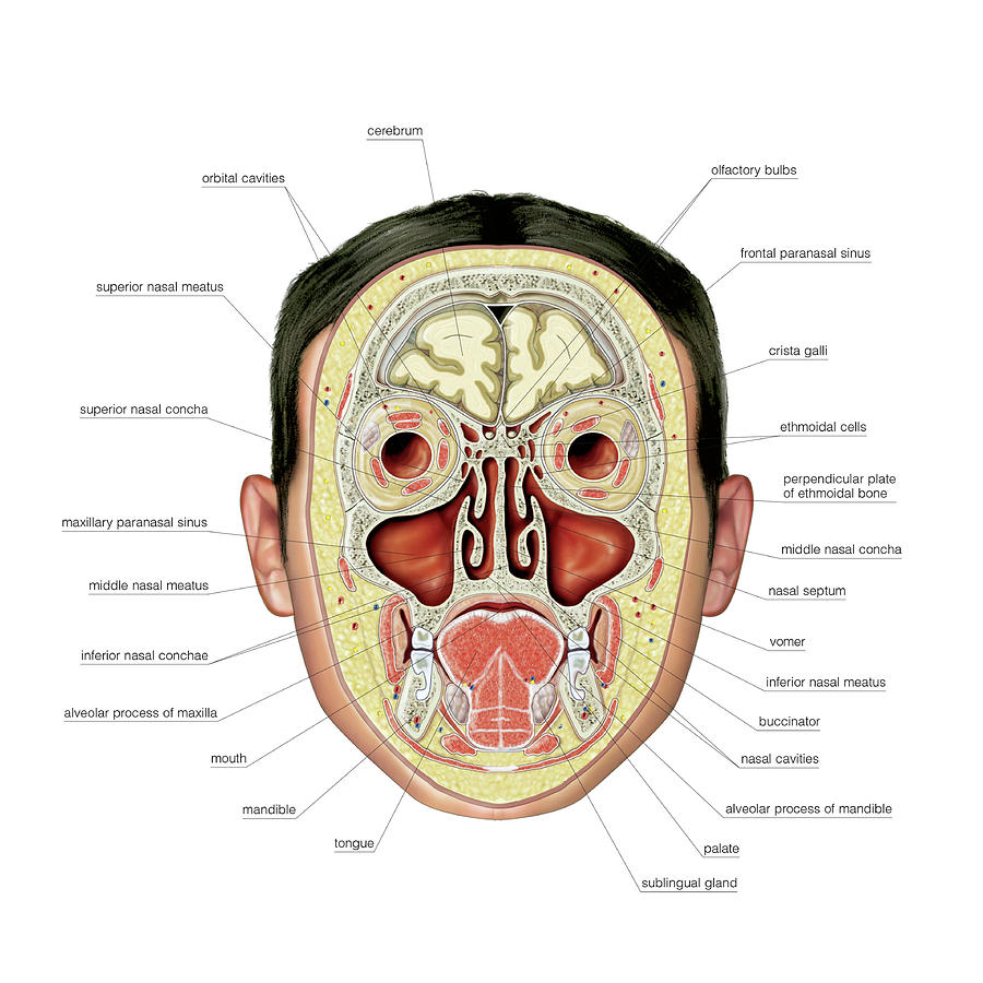 Paranasal Sinuses Photograph By Asklepios Medical Atlas