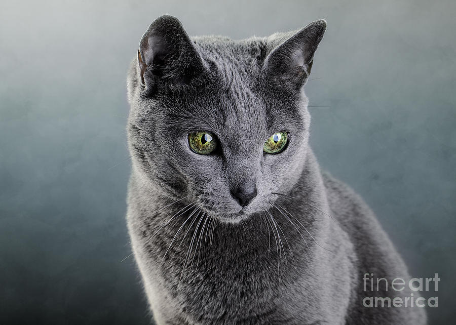 Russian Blue Cat Photograph by Nailia Schwarz