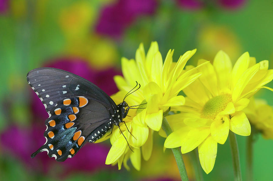 Black Photograph - Spicebush Swallowtail, Papilio Troilus by Darrell Gulin