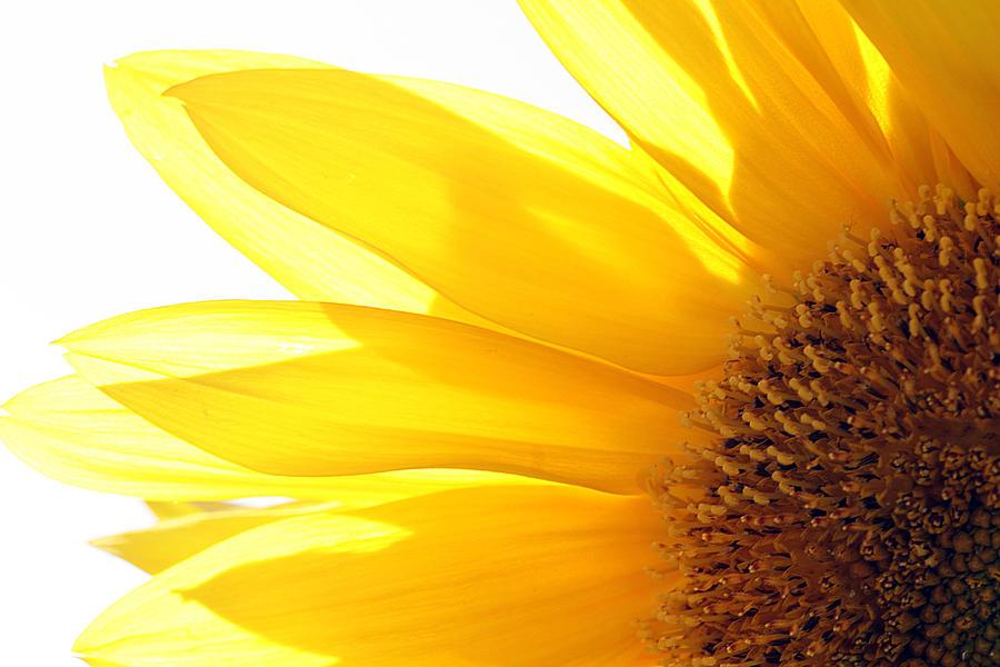 Sunflower Photograph - Sunflower  by Cindi Ressler