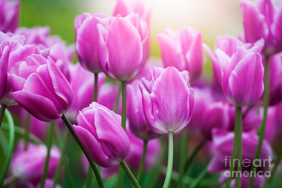 Tulips by Katka Pruskova