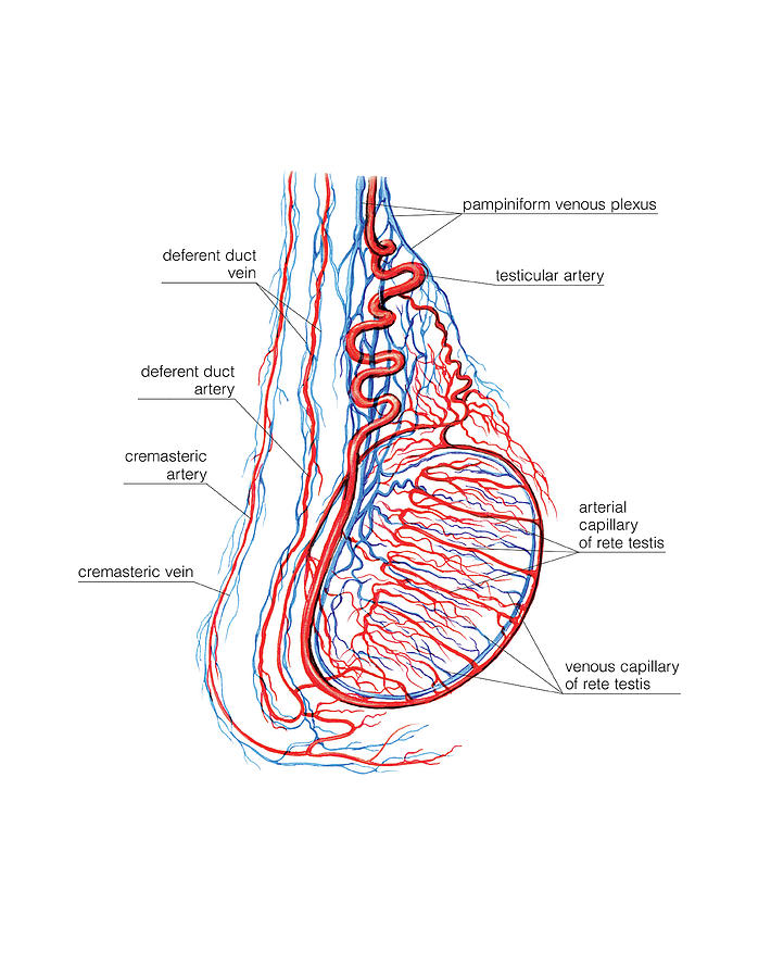 Male Genital System Photograph By Asklepios Medical Atlas