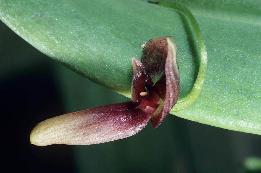 Orchid Photograph - Orchid Flower by Paul Harcourt Davies/science Photo Library
