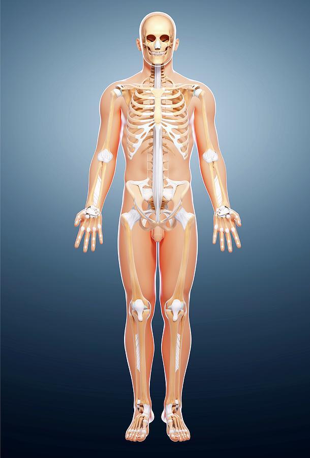 Artwork Photograph - Male Skeleton by Pixologicstudio/science Photo Library