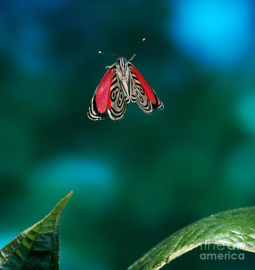 Animal Photograph - 89 Butterfly In Flight by Stephen Dalton