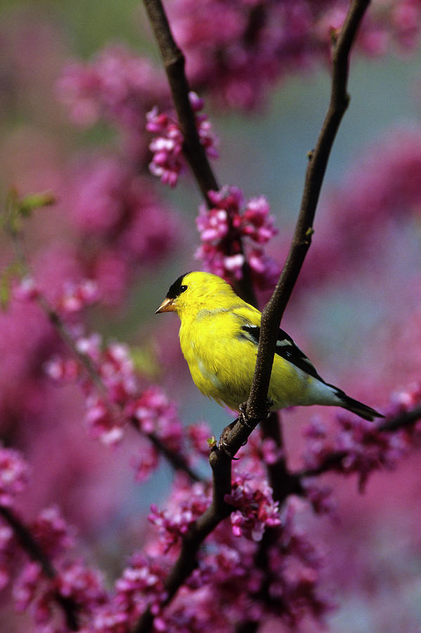 American Goldfinch Photograph - American Goldfinch (carduelis Tristis by Richard and Susan Day