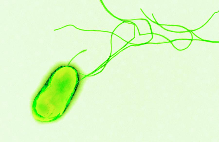 Escherichia Coli Photograph - E. Coli Bacterium by Centre For Infections/public Health England/science Photo Library