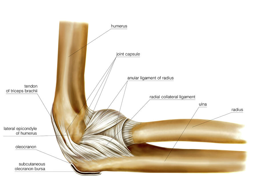 Elbow Joint Photograph By Asklepios Medical Atlas