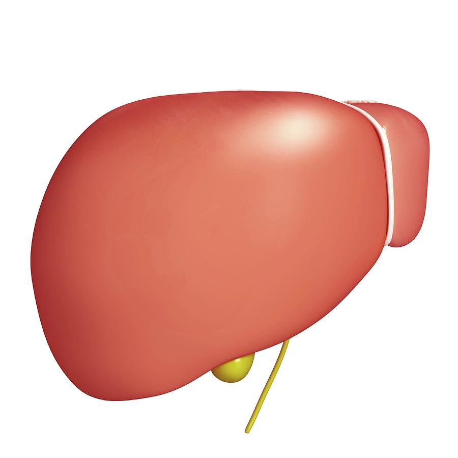 Artwork Photograph - Healthy Liver by Pixologicstudio/science Photo Library