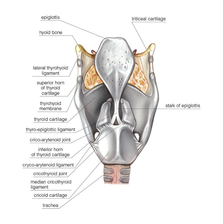 Larynx Photograph By Asklepios Medical Atlas