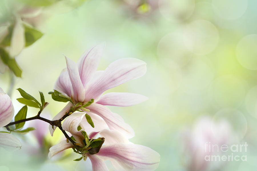 Magnolia Flowers Photograph