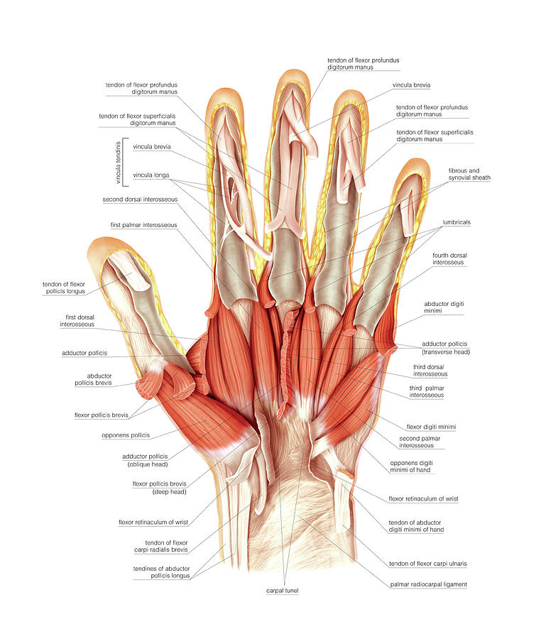 Muscles Of The Hand Photograph By Asklepios Medical Atlas