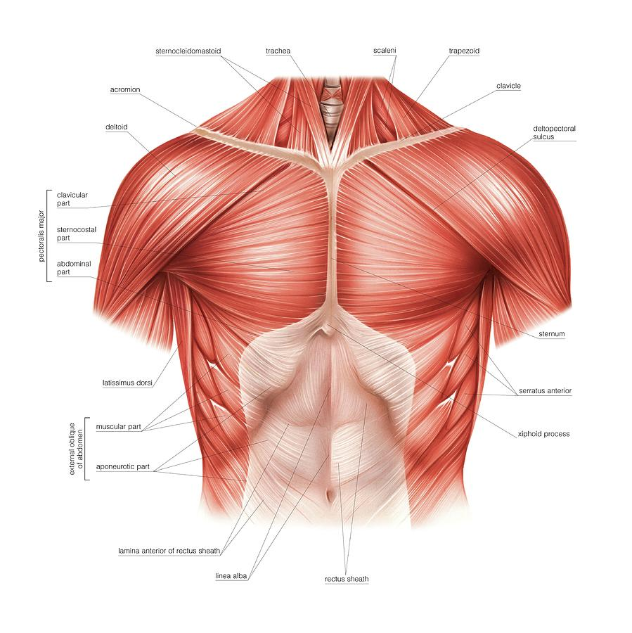 Muscles Of The Thorax Photograph By Asklepios Medical Atlas